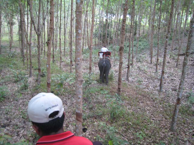 Elephants run amok in a rubber plantation...