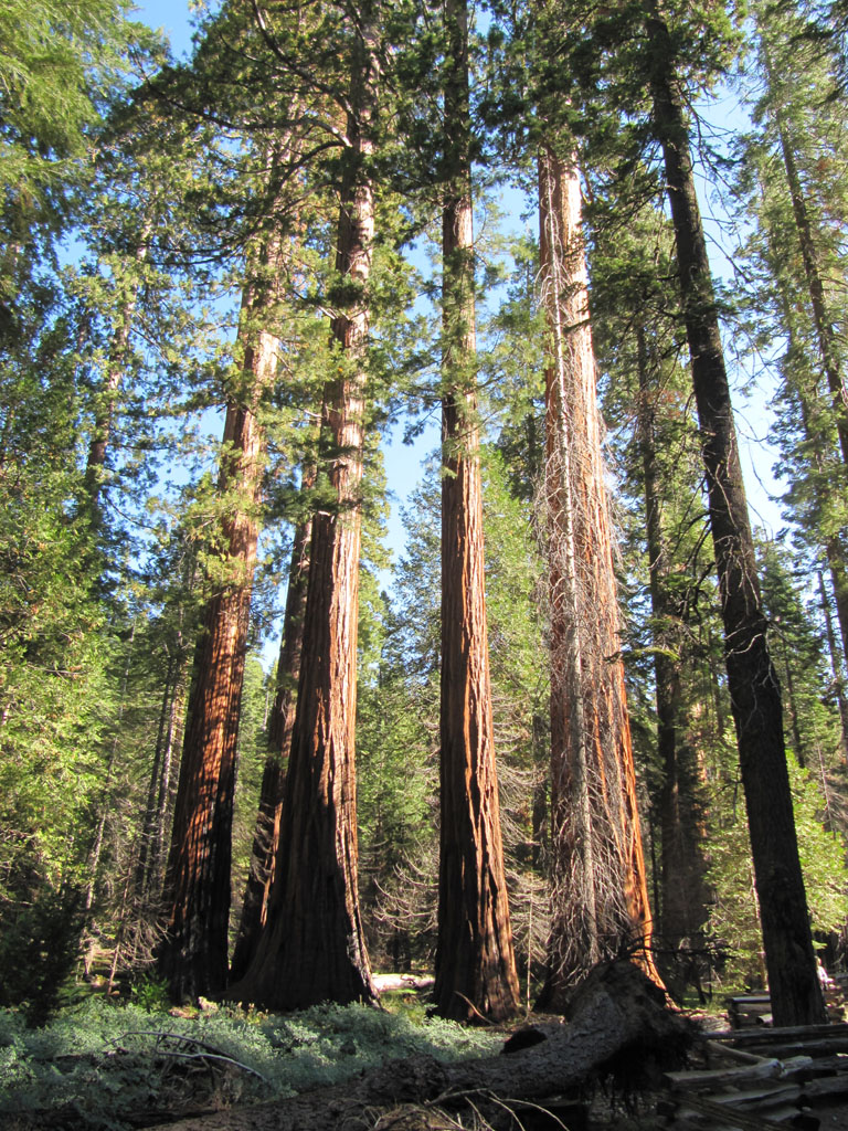 Giant Sequoia in Mariposa Grove