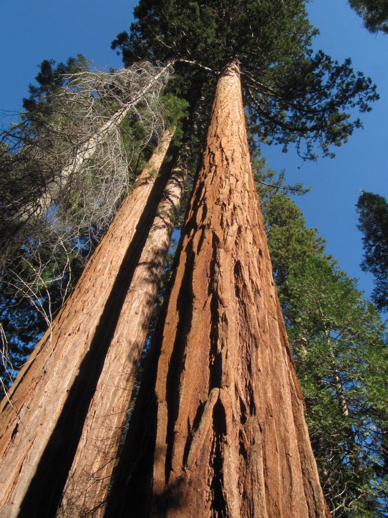 Giant Sequoia's deep red bark