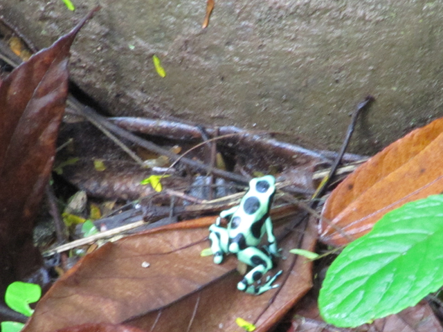 One of a few species of poisonous frogs in the rainforest...