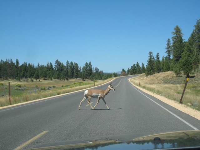 Longhorn deer crossing the road in Bryce National Park